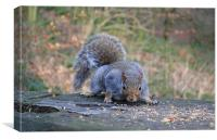 Squirrel having a well deserved munch., Canvas Print
