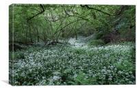 Wild garlic welsh woodland 8842, Canvas Print