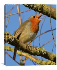 Singing Robin, Canvas Print