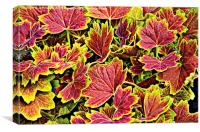 Colourful Geranium Leaves
