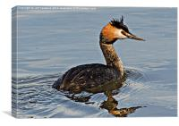 Great Crested Gebe, Canvas Print