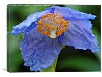 Blue Poppy.., Canvas Print