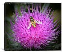 Hover fly on thistle flower, Canvas Print