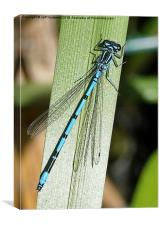 Typical British Damselfly , Canvas Print