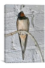 Swallow, Canvas Print