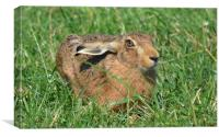 Wild Brown Hare, Canvas Print