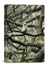 Tiny Tawny in a Tangle of Trees, Canvas Print