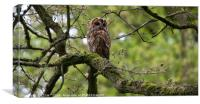 Adult tawny owl keeping watch, Canvas Print