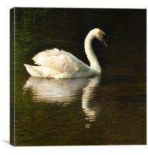 Swan Return, Canvas Print