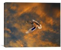 Duck in flight, Canvas Print