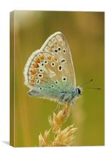 Common Blue, Canvas Print