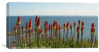 Red Hot Pokers by the Sea, Canvas Print