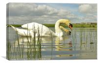 Two headed Swan, Canvas Print