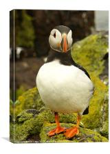 Puffin, Canvas Print