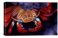 Sally Lightfoot Crab, Galapagos Islands, Canvas Print
