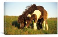 Dartmoor pony and foal grazing, Canvas Print