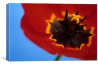 Red tulip blue background, Canvas Print