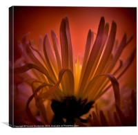 Spider Chrysanthemum, Canvas Print