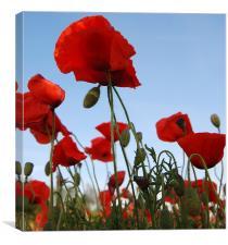 Breezing Poppies, Canvas Print