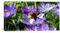 Bumblebee Collecting Pollen, Canvas Print