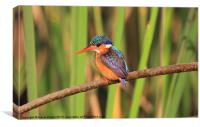 Malichite Kingfisher, Canvas Print