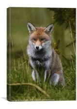 Young Fox, Canvas Print