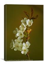 Cherry Blossom, Canvas Print