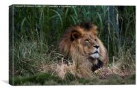 Lion In The Grass, Canvas Print