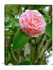 Pink Camellia, Canvas Print