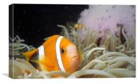 Clownfish Macro, Canvas Print
