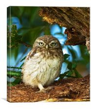 Little Owl at nest., Canvas Print