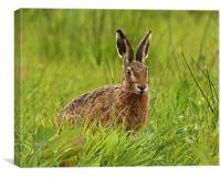 Brown Hare, Canvas Print