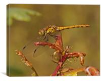 Common Darter, Canvas Print
