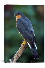 Sparrowhawk, Canvas Print