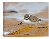 Ringed Plover, Canvas Print