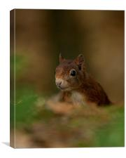 Inquisitive Red Squirrel, Canvas Print