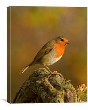 Robin (Erithacus rubecula), Canvas Print
