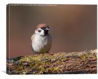 Tree Sparrow, Canvas Print