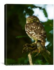 Little Owl with prey, Canvas Print