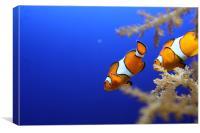 Nemo - Clown Fish, Canvas Print