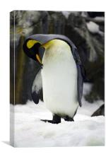 Captive Penguin, Canvas Print