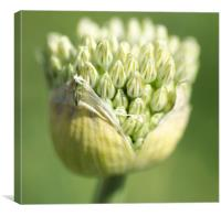 Giant Allium, Canvas Print