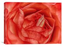 Coral Rose, Canvas Print