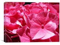 Pink Hydrangea, Canvas Print