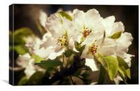 White Cherry Blossoms, Canvas Print