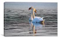 The Mute Swan (Cygnus olor), Canvas Print