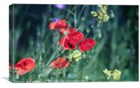 Poppies dancing in the sun
