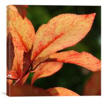 red leaves, Canvas Print