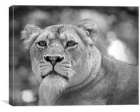 lioness 001, Canvas Print