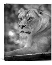 lioness 002, Canvas Print